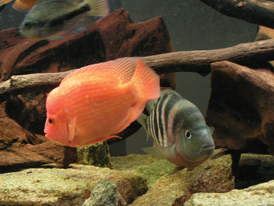 Aggressive fish related keywords aggressive fish long for Non aggressive fish