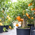 Now is the time to buy and plant citrus trees