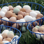 "Pastured ""rainbow"" eggs from Red Hill Farms   ( photo: WWW.REDHILLFARMS.BIZ)"