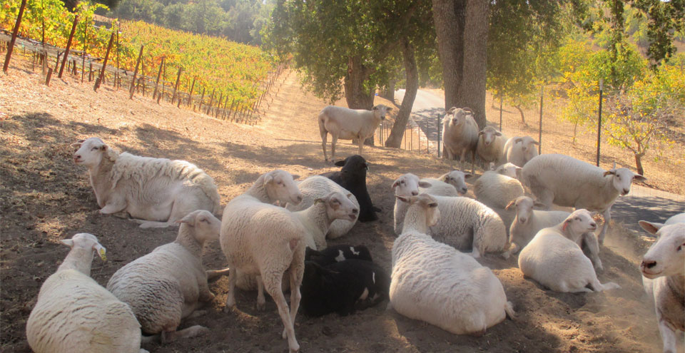 Sheep are part of the sustainability plan at Adelaida