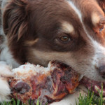 Zoe, Ask the Meatman's official dog bone taste tester, enjoys a large smoked knucklebone    photo: courtesy the meatman