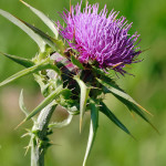 Milk thistle can help improve skin clarity     photo: wikipedia