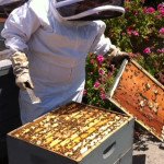 Beekeeper Terry Oxford tends to one of his hives
