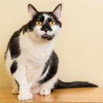 Abby's owner passed away and she is looking for a new home   photo: courtesy Give Me Shelter Cat Rescue