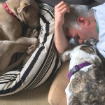 Mitch's pit bull Pork Chop naps with Mitch and abused pit bull Capone, renamed Magoo    photo: susan dyer reynolds