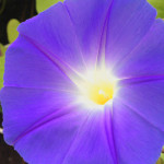 Near the second anniversay of her death, Jazzy's morning glories came up purple instead of blue.     photo: susan dyer reynolds
