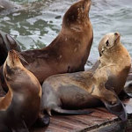 25th Anniversary of the Sea Lions' Arrival