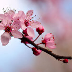 48th Annual Northern California  Cherry Blossom Festival