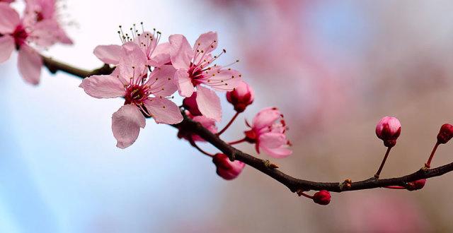 48th Annual Northern California  Cherry Blossom Festival