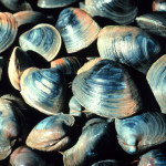 Fresh quahog or little neck clams are key to Rhode Island style chowder.      photo: nerr0326 / flickr