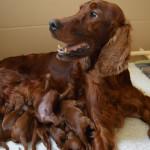 A picture's worth a thousand words when it comes to Irish setter puppies.     Photo: carnbargus-irishsetters.co.uk