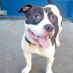 Lola is one of many sweet pittie mixes waiting to go home for the holidays.  PHOTO: San Francisco Animal CARE and CONTROL