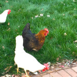 Jason's chickens foraging in his backyard.