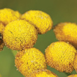 Ladybugs and tansy flowers help to keep your garden pest free.