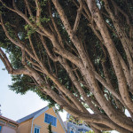 San Francisco voters will decide whether the city or private property owners pay for the upkeep of street trees. photo: Tony Webster