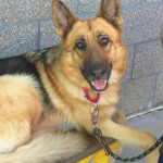 Tessa is one of the many beautiful dogs waiting for a forever home with Second Chance German Shepherd Rescue.