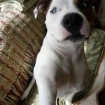 Jazzy is shocked to discover Glen of Imaal terrier in her DNA
