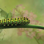 If you want butterflies in your garden, make your garden caterpillar friendly.  photo: susannp4