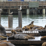Multiple attacks on swimmers by sea lions might be the work of a lone pinniped perpetrator. Photo: Martayerbe