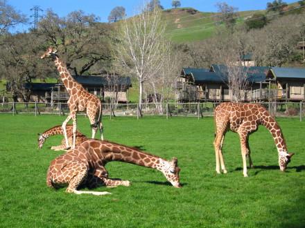 Giraffes at play.  Photo: Bo Links