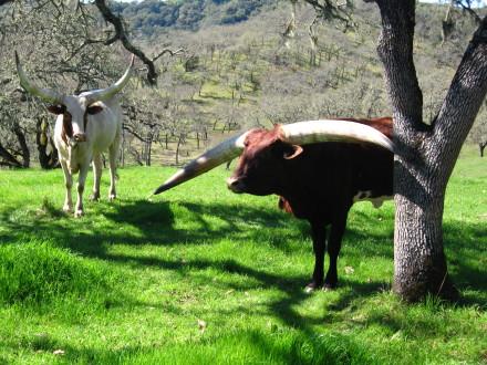 Watusi cattle strike a pose.  Photo: Bo Links