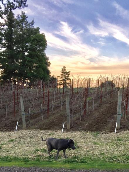 Blue explores the Lula vineyards. Photo: Susan Dyer Reynolds